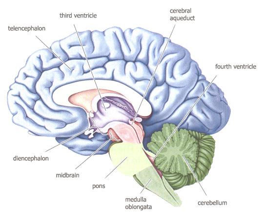 Mid Sagittal Brain Diagram Color Coded Electrical Work Wiring
