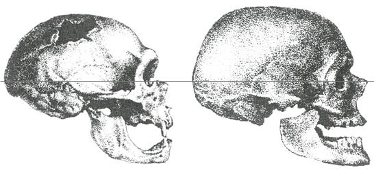 Cro Magnon Skull Drawi...